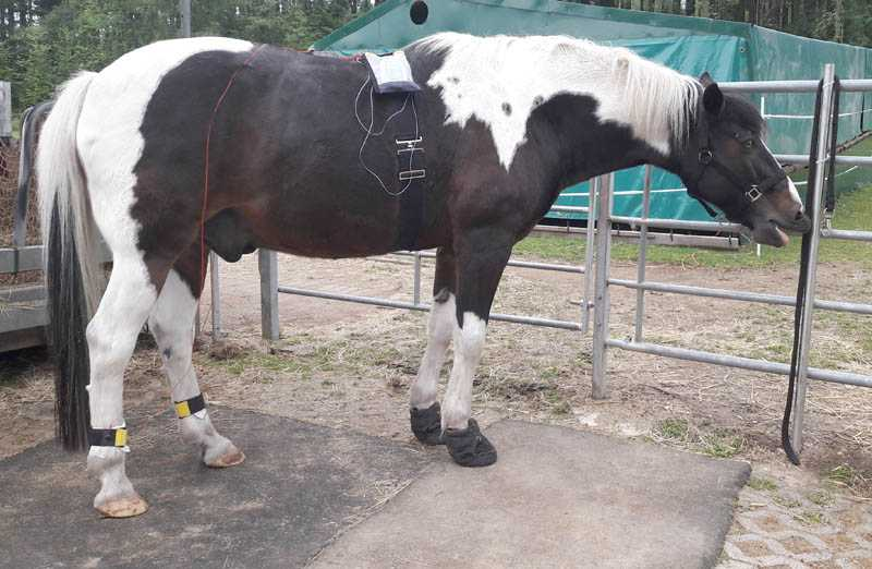 A horse has a frequency zapper strapped to his back, which is connected with to the animal's fetlocks with two ankle cuffs