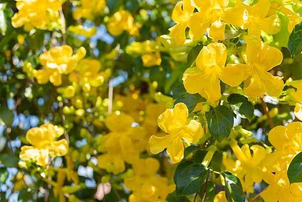 Man sieht einen Baum mit wunderschönen gelben Blüten