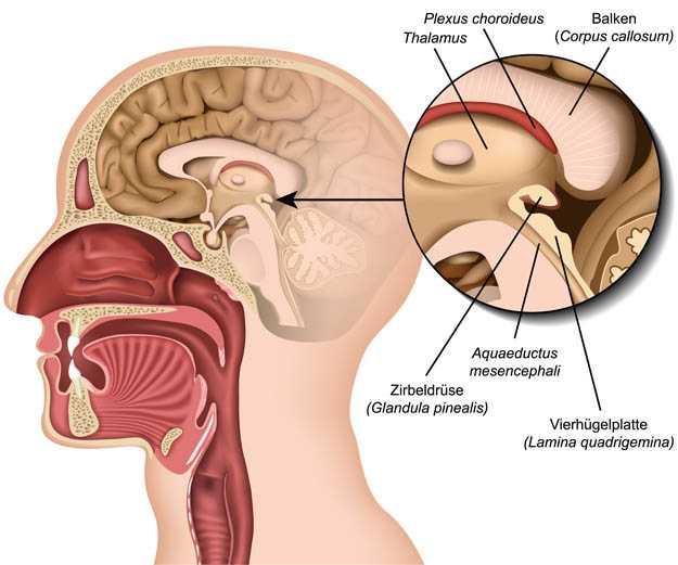 Schematische Darstellung des Gehirns mit der Zirbeldrüse in der Mitte
